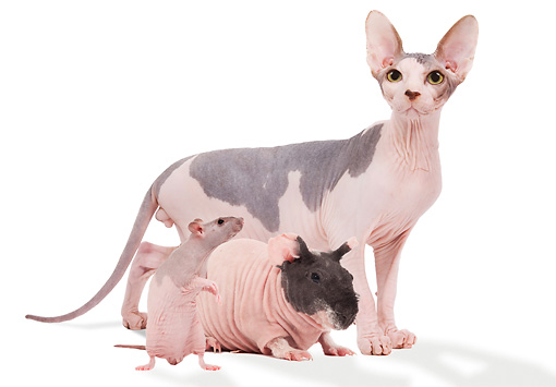 CAT 09 JE0001 01 © Kimball Stock Sphynx Cat, Hairless Guinea Pig And Hairless Rat Standing On White Seamless