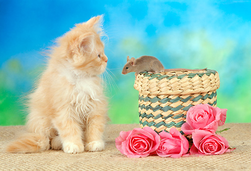 CAT 09 RC0001 01 © Kimball Stock Red Kitten Watching Mouse Sitting On Basket By Pink Flowers