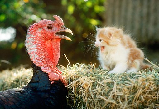 CAT 09 RC0002 01 © Kimball Stock Red Kitten Sitting On Hay Bale Meowing At Turkey