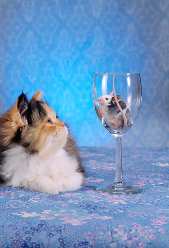 CAT 09 RC0005 01 © Kimball Stock Gray And Red Persian Cat Sitting Mouse In Wine Glass