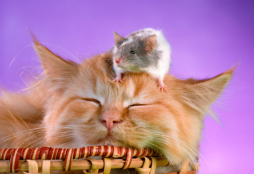 CAT 09 RC0009 01 © Kimball Stock Mouse Sitting On Head Of Red Tabby Kitten Sleeping In Basket