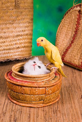 CAT 09 RC0010 01 © Kimball Stock White Persian Cat Sitting In Round Basket Watching Yellow Parakeet