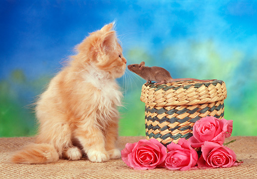 CAT 09 RC0012 01 © Kimball Stock Orange Tabby Persian Kitten And Brown Rat Nose To Nose Sitting With Wicker Basket And Pink Roses
