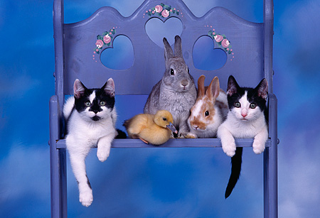 CAT 09 RK0001 10 © Kimball Stock Kittens Rabbits And Duckling All Together On Blue Chair Blue Clouds Background