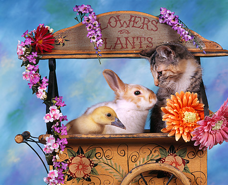 CAT 09 RK0003 01 © Kimball Stock Kitten Rabbit And Duckling Sitting Together In Planter With Flowers Mottled Background