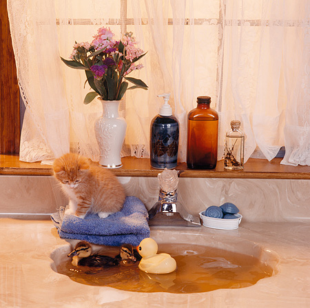 CAT 09 RS0007 01 © Kimball Stock Orange Kitten Sitting By Sink Watching A Duckling Swim In Bathroom