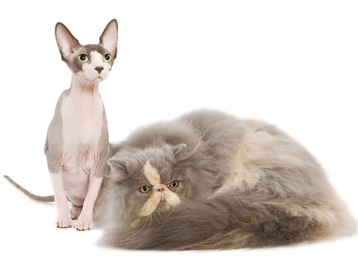 CAT 10 JE0001 01 © Kimball Stock Sphynx And Persian Cats Sitting On White Seamless