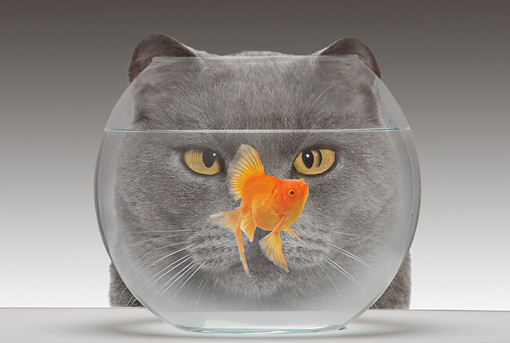 CAT 10 JE0002 01 © Kimball Stock Head Shot Of Chartreux Cat Looking Through Fish Bowl At Goldfish