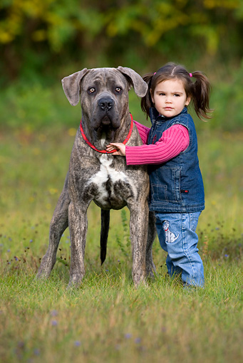 CHD 06 KH0001 01 © Kimball Stock Little Girl Standing With Cane Corso Dog In Field