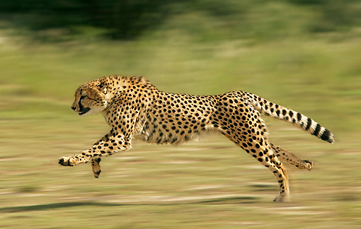 CHE 01 JE0001 01 © Kimball Stock Cheetah Running On Savanna