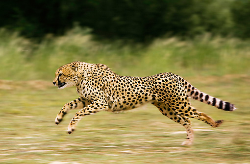 CHE 01 JE0002 01 © Kimball Stock Cheetah Running On Savanna