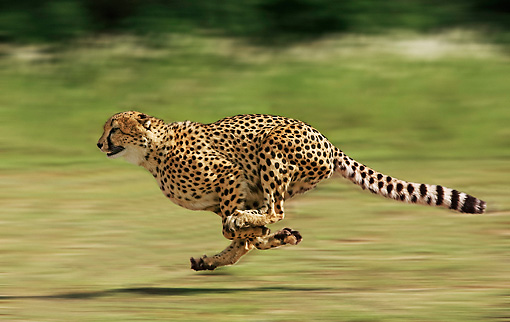 CHE 01 JE0004 01 © Kimball Stock Cheetah Running On Savanna