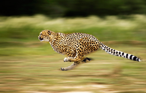 CHE 01 JE0005 01 © Kimball Stock Cheetah Running On Savanna