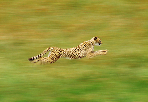 CHE 01 RK0012 01 © Kimball Stock Profile Shot Of Cheetah Running Blurry Background