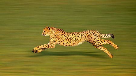 CHE 01 RK0113 01 © Kimball Stock Profile Shot Of Cheetah Running On Grass