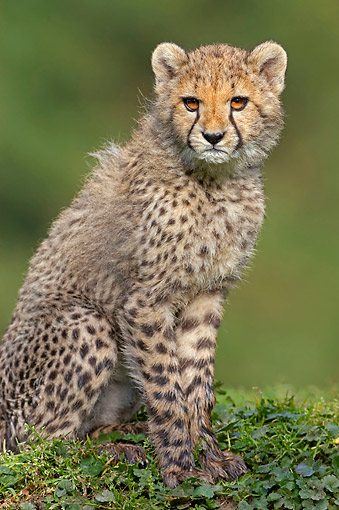 CHE 02 AC0002 01 © Kimball Stock Cheetah Cub Sitting