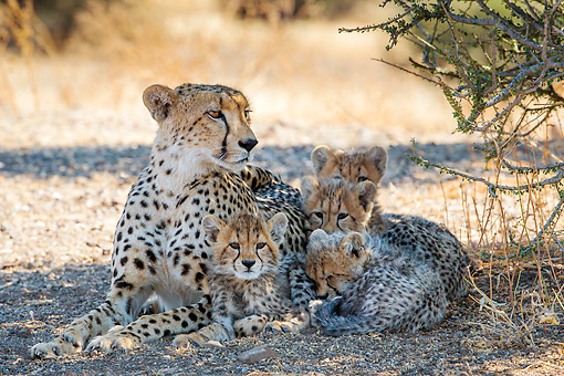 CHE 02 KH0006 01 © Kimball Stock Cheetah Mother Laying With Cubs