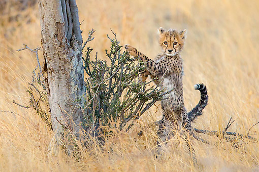 CHE 02 KH0017 01 © Kimball Stock Cheetah Cub Pawing On Tree In Botswana
