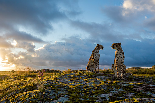 Cheetahs Sitting On Mossy Boulder At Sunset Southern Africa