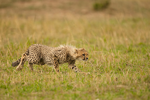 CHE 02 MC0005 01 © Kimball Stock Cheetah Cub Stalking Another Cub