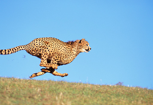 CHE 02 RK0003 10 © Kimball Stock Cheetah Running Profile Shot On Green Grass With Legs In Air At Dusk Blue Sky