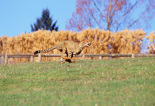 CHE 02 RK0006 10 © Kimball Stock Cheetah Running Profile Shot On Green Grass Legs In Air By Hay Stacks And Trees Blue Sky