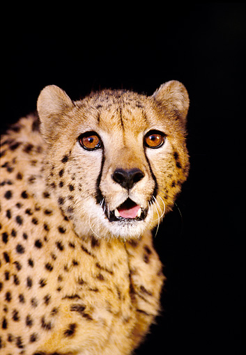 CHE 02 RK0031 08 © Kimball Stock Shoulder Shot Of Cheetah With Mouth Open Teeth Showing Snarling Facing Camera Black Background