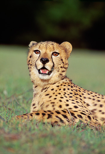 CHE 02 RK0050 12 © Kimball Stock Shoulder Shot Of Cheetah Laying On Grass Facing Camera Mouth Open