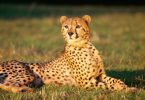 CHE 02 RK0060 05 © Kimball Stock Cheetah Laying On Grass