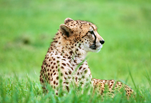 CHE 02 RK0197 01 © Kimball Stock Cheetah Laying On Tall Grass Looking Away