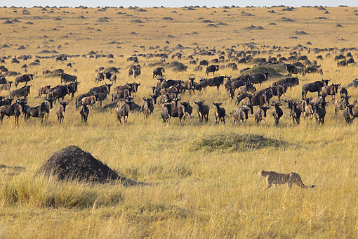 CHE 02 WF0002 01 © Kimball Stock Cheetah Walking Past Herd Of Wildebeest