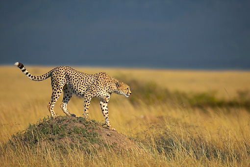 CHE 02 WF0003 01 © Kimball Stock Cheetah Standing On Termite Mound Hunting Prey
