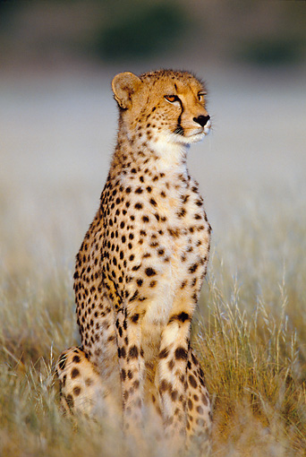 CHE 02 KH0001 01 © Kimball Stock Cheetah Sitting On Savanna