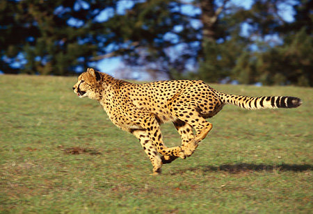 CHE 02 RK0011 02 © Kimball Stock Cheetah Running Profile Shot On Green Grass Hill Legs In Air By Trees Blue Sky
