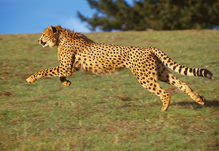 CHE 02 RK0011 03 © Kimball Stock Cheetah Running Profile Shot On Green Grass Hill Legs In Air By Trees Blue Sky