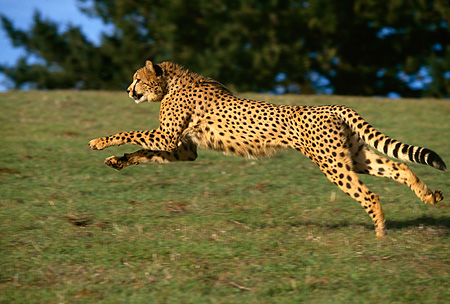 CHE 02 RK0011 15 © Kimball Stock Cheetah Running Profile Shot On Green Grass Hill Legs In Air By Trees Blue Sky