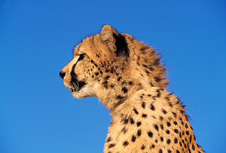 CHE 02 RK0028 05 © Kimball Stock Close Up Profile Shoulder Shot Of Cheetah Mouth Open Blue Sky