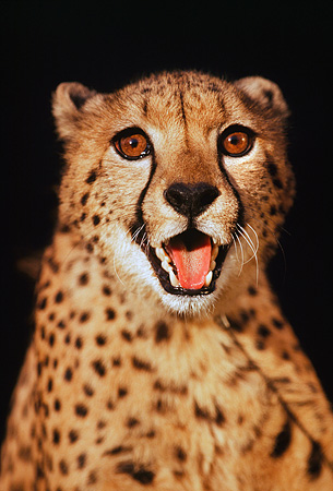 CHE 02 RK0031 10 © Kimball Stock Shoulder Shot Of Cheetah With Mouth Open Teeth Showing Snarling Facing Camera Black Background
