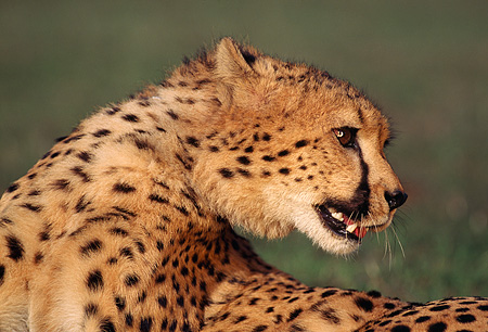 CHE 02 RK0046 05 © Kimball Stock Close Up Shoulder Shot Of Cheetah Laying On Grass Looking Back Growling Mouth Open On Grass