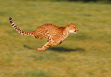 CHE 02 RK0096 17 © Kimball Stock Full Body Profile Shot Of Cheetah Running On Grass Legs In Air Cinn Zoo