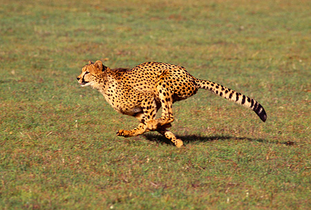 CHE 02 RK0096 23 © Kimball Stock Full Body Profile Shot Of Cheetah Running On Grass Legs In Air Cinn Zoo