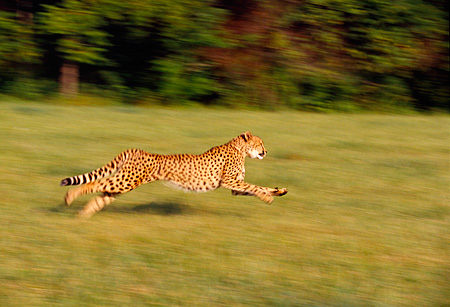 CHE 02 RK0099 19 © Kimball Stock Full Body Profile Shot Of Cheetah Running Legs In Air On Grass Trees In Background Cinn Zoo