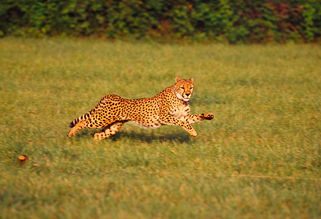 CHE 02 RK0106 04 © Kimball Stock Full Body Profile Shot Of Cheetah Running On Grass Legs In Air Cinn Zoo