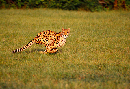 CHE 02 RK0106 05 © Kimball Stock Full Body Profile Shot Of Cheetah Running On Grass Legs In Air Cinn Zoo