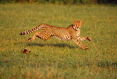 CHE 02 RK0106 12 © Kimball Stock Full Body Profile Shot Of Cheetah Running On Grass Legs In Air Cinn Zoo