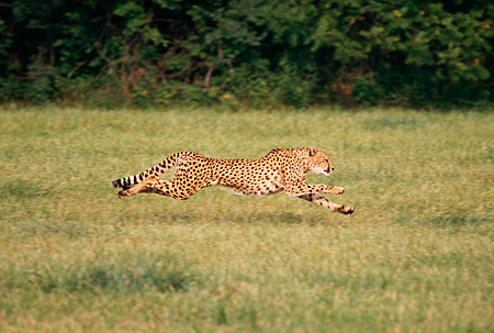 CHE 02 RK0106 25 © Kimball Stock Full Body Profile Shot Of Cheetah Running On Grass Legs In Air Cinn Zoo