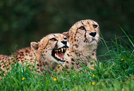 CHE 02 RK0126 03 © Kimball Stock Two Cheetahs Laying In Tall Grass One Growling Mouth Open Teeth Showing