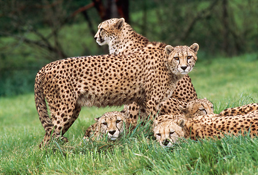 CHE 02 RK0138 01 © Kimball Stock Group of Cheetahs On Grass