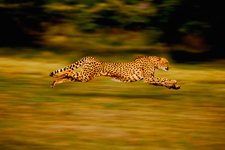 CHE 02 RK0262 01 © Kimball Stock Profile Of Cheetah Running Full Body Blurry Background