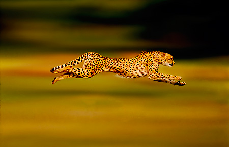 CHE 02 RK0263 01 © Kimball Stock Full Body Profile Shot Of Cheetah Running On Grass Legs In Air Cinn Zoo